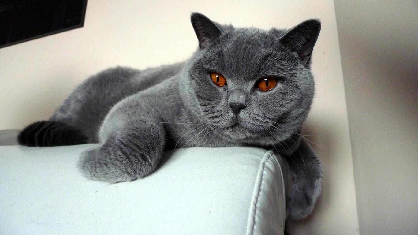 Kot Brytyjski Krótkowłosy Charakter Wygląd Co Warto Wiedzić